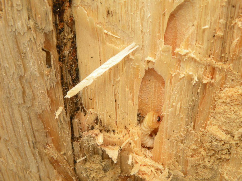 Bicho taladro fumigaciones propark 39 s blog - Taladro de la madera ...